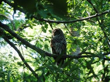 Siting of a barred owl